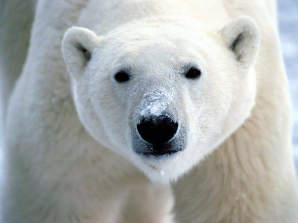 One of God's great creatures - the polar bear
